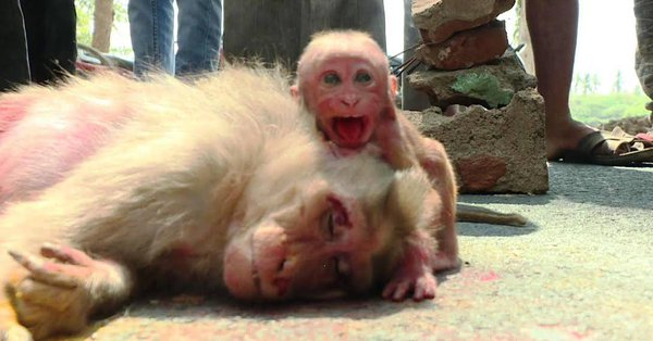 Baby monkey weeps over mother's carcass in TN village